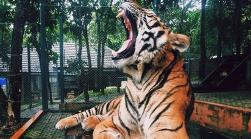tiger yawning image template